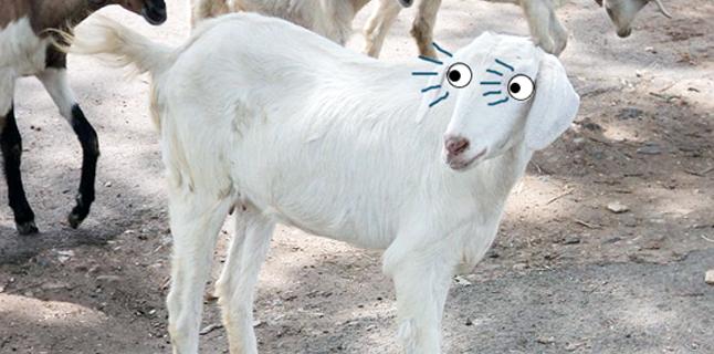 O emagrecedor do futuro – parte 3: A moléstia da cabra