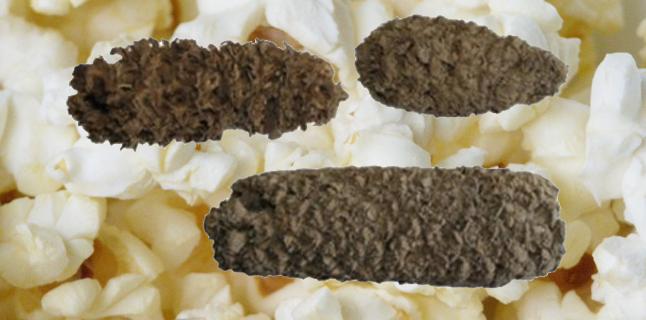 Encontrada a pipoca mais antiga da América do Sul!